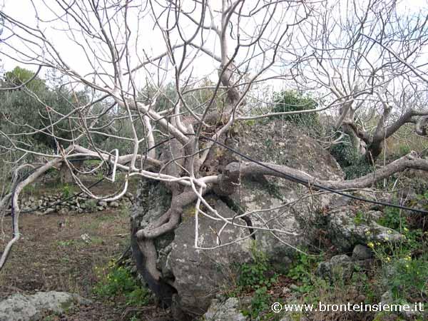 Home page economia il pistacchio l albero e la roccia immagine 9 di 10
